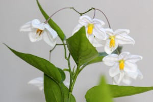 Solanum Jasminoides flowers