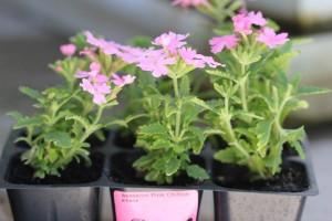 Cute Pink Verbena
