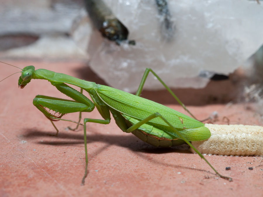Mantis Mommy Laying Eggs By The Gardening Blog