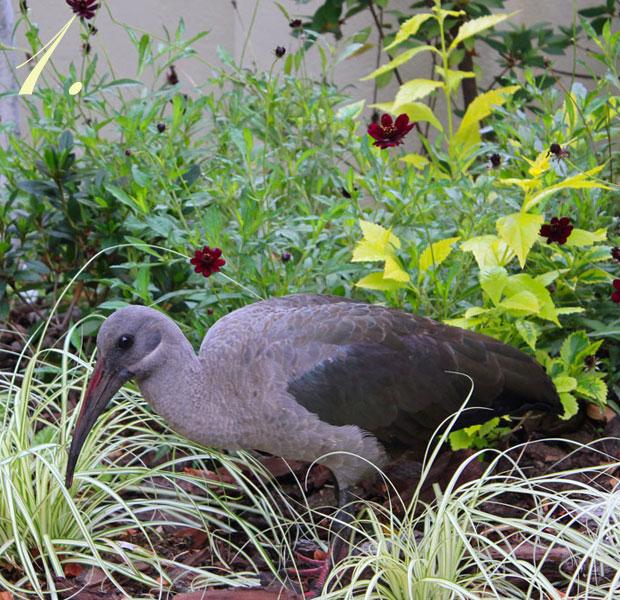 One Hadeda Ibis visiting