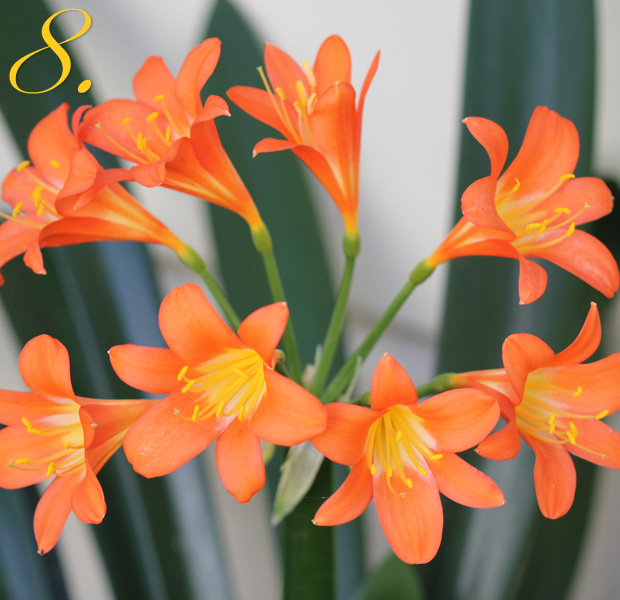 8 Clivias flowering
