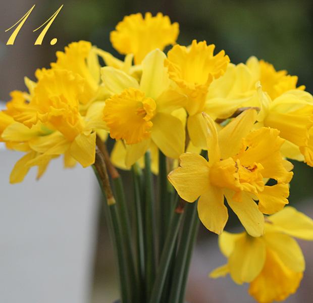 Eleven Daffodils glowing