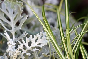 I'm loving the Dusty Miller thats growing fast