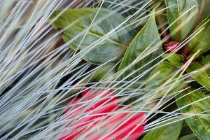 Accidental: Festuca glauca and Impatiens
