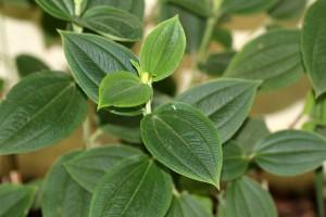 Foliage of the Tibouchina