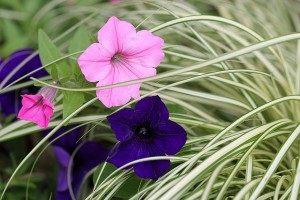 Pretty Petunias amongst the Carex