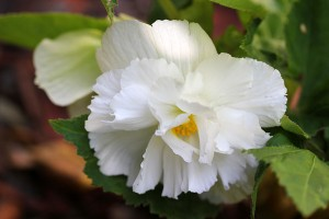 First Begonias flowers