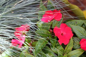Red Impatiens mixed with Festuca