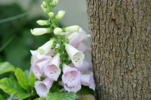Foxgloves flowering were a surprise