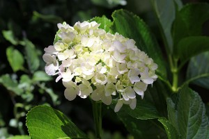 And the Hydrangea that almost wasn't!