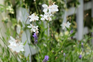 and the Gaura and Lavender combo