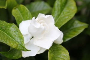 The sweetest smelling Gardenia ever!