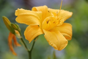 Haemerocallis in beautiful yellow