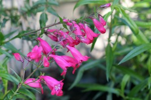Penstemon 'Alice Hendley' is pretty