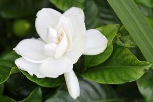 Gardenia so sweet