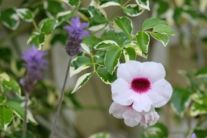 "Pandorea Jasminoides ""Charisma"""