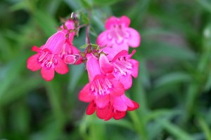 Penstemon 'Alice Hendley'