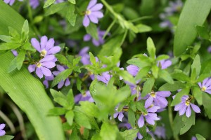 Scaevola pretty in violet