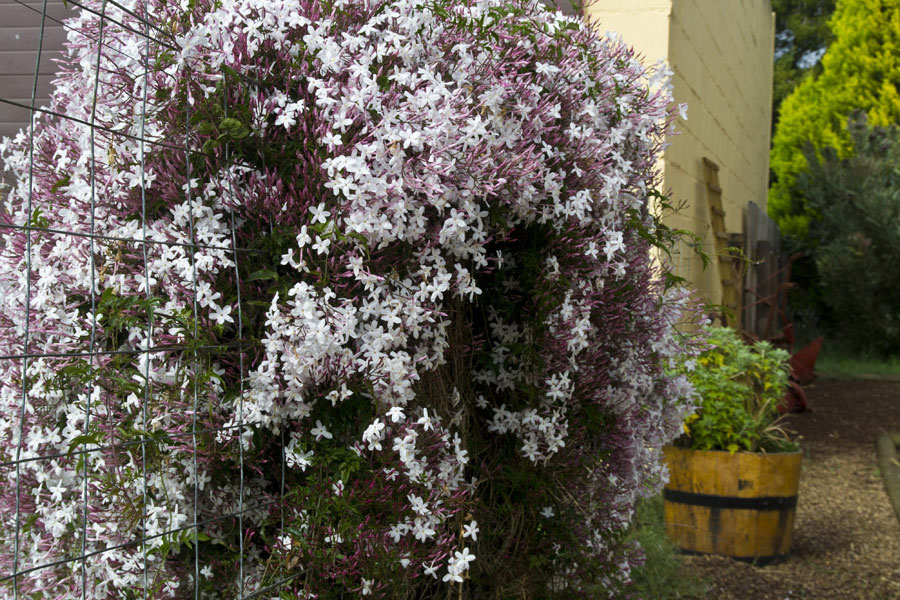 PlantFiles Pictures: Pink Jasmine, White Jasmine (Jasminum ...