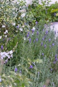 Lavender and Gaura