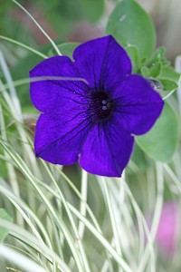 Petunias for instant colour
