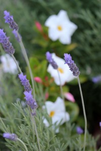 Lavender is a great filler plant