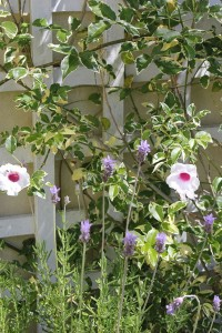 Lavender and Pandorea