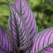 The wonderful Strobilanthes