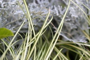 Dusty Miller with Carex Evergold