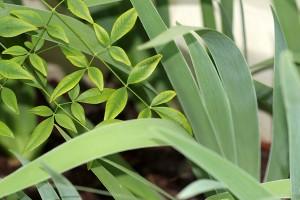 Nandina and the Louisiana Irises