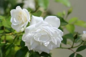 Rosa Iceberg