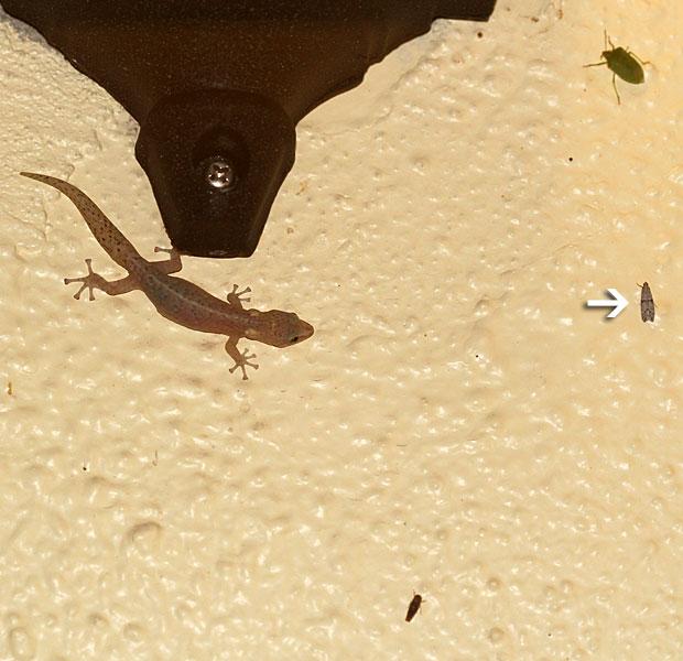 Gecko charging for dinner