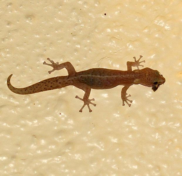 Gecko having his dinner