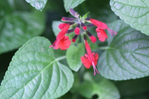 Red flowers on the Salvia