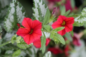 Red Calibrachoa peeping through Lamium