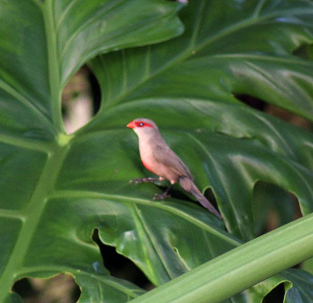 Red Waxbill