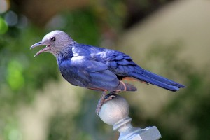 Starling on my Terrace
