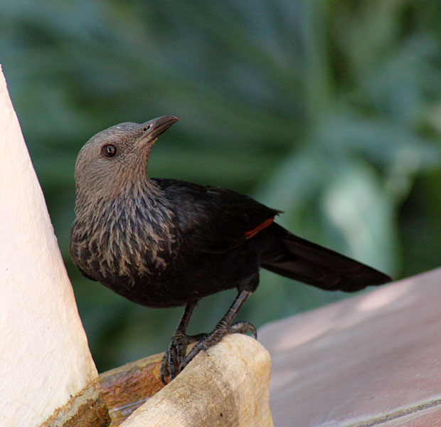 Starling on the Terrace