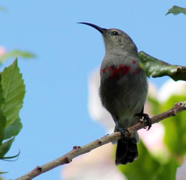 Gorgeous Sunbird