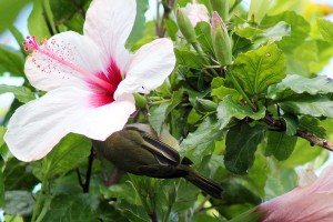 Witoogie in the Hibiscus