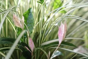 Chameleon plant peeping through