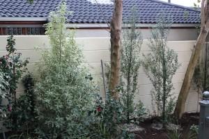 Newly planted Pittosporum nigrescens July 2011
