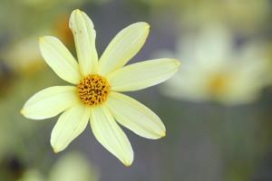 Coreopsis verticillata detail