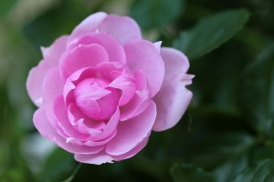 """The label said """"Patio Rose"""" !!!"""