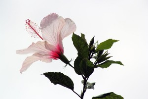 My favourite Hibiscus