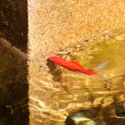 One of my goldfish in the pond