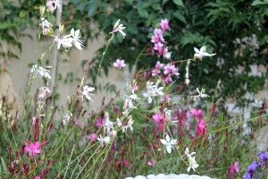 The gorgeous Gaura flowering now