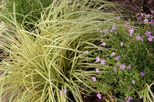 Carex and Sutera - what do you think?