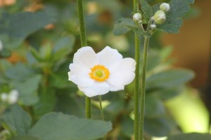 The first Japanese Anemone opened