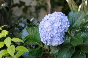 The lovely blue Hydrangea